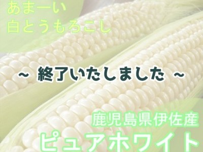 令和元年産 白とうもろこし「ピュアホワイト」(鹿児島県伊佐市)【M~2L 約15本】