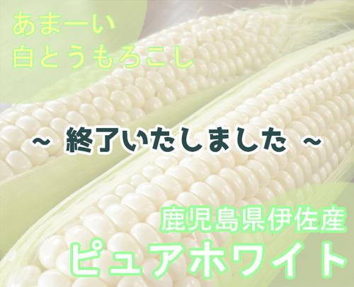 令和3年産 白とうもろこし「ピュアホワイト」(鹿児島県伊佐市)【M~2L 約15本】